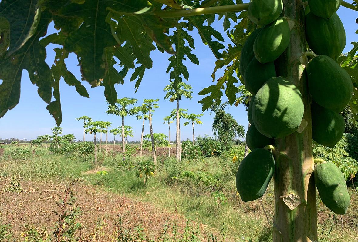 Papaya Bäume