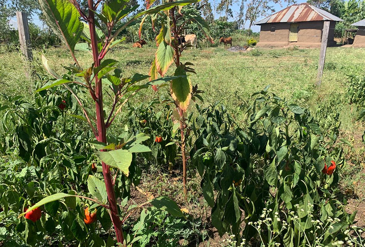 Paprika Anbau im eigenen Gemüsegarten